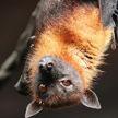 У летучих мышей в Китае обнаружили новые коронавирусы