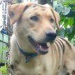 Фермер покрасил свою собаку «под тигра» для отпугивания обезьян
