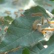 Гусеницы американской белой бабочки угрожают плодовым деревьям в Гомельской области