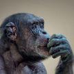 «Натирает мылом щетку и трет ей одежду»:  18-летний шимпанзе в Китае научился стирать