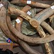 Бивни мамонта пытались незаконно ввезти в Беларусь