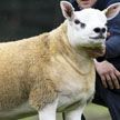 В Шотландии продали самого дорогого в мире барана