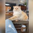 «Человек, где моя еда?» Величавый кот вызвал восхищение и умиление в Сети (ВИДЕО)