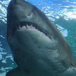 Серфингист спас подругу от напавшей на нее акулы