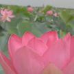 Цветение лотосовых полей: красивое, но недолговечное природное явление наблюдают сейчас в России