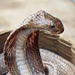 Заклинатели змей вооружились рептилиями и ограбили айтишника
