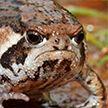 Эпичную драку двух лягушек сняли на видео