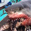 Рыбаки наткнулись на гигантскую белую акулу, подавившуюся черепахой