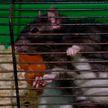 Крыса по кличке Гаечка: символ 2020 года выбрали в Гродненском зоопарке