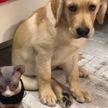 Кто стащил колбасу со стола? Лабрадор показал на кота и рассмешил всех до слез! (ВИДЕО)