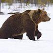 Медведи забрались в дом к американцу (Видео)