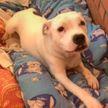 «Растрогало до слез!» Девушка показала, как будит свою глухую собаку (ВИДЕО)