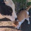 Кот нашел необычного друга на ферме – они вместе обедают и спят. Работники даже создали чат, чтобы обсуждать приятелей! Посмотрите,  это удивительно! (ВИДЕО)