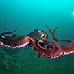 Дайвер запечатлел осьминога-шпиона (Видео)