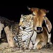 Приемный сын. История дружбы коровы и леопарда покорила пользователей интернета