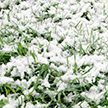 Поиграть в снежки и покататься на санях в конце мая могут жители Калифорнии
