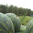 Александр Лукашенко принял участие в уборке картофеля и арбузов