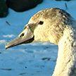 Лебедь из Витебска не смог улететь на юг из-за лишнего веса