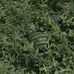 Небывалый урожай арбузов собрали в Брестской области