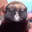 Щенок с двумя  головами родился в Перу