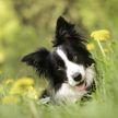 Названы пять самых умных и обучаемых пород собак