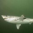Акула напала на дайвера у берегов Приморского края