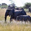 Власти Намибии выставили на продажу 170 диких слонов