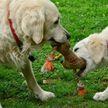 Собака бегала за мячом, а щенок нашел способ быть все время рядом. Посмотрите, это неожиданно – 100% будете хохотать! (ВИДЕО)