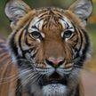 Впервые в мире коронавирус обнаружили у тигра