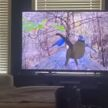Кошка возомнила себя великой охотницей и врезалась в телевизор