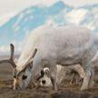 Северные олени массово гибнут от голода на Шпицбергене