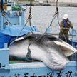 В Японии снова убивают китов – спустя почти 40 лет запрета