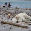 В Норвегии охранник туристического судна застрелил белого медведя