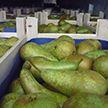 Крупную контрабанду груш из Евросоюза в Россию случайно раскрыли по фото