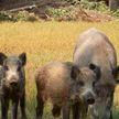 Беларусь ограничила ввоз свинины из Германии