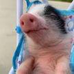 Пока поросенок спит в коляске, за ним ухаживает щенок. Посмотрите, не засмеяться невозможно! (ВИДЕО)
