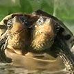 Черепаха-мутант с двумя головами потрясла жителей Китая