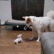 Крохотный щенок потребовал у старшего брата отдать ему игрушку. И тот подчинился! Посмотрите, 100% улыбнетесь! (ВИДЕО)
