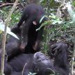 Мама-шимпанзе играет с детёнышем в «самолётик»