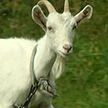 Остались голова и передние лапы: неизвестное животное нападает на домашний скот и питомцев в Слонимском районе