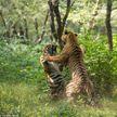 Невероятная схватка двух тигров попала на видео