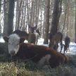 Корова прожила восемь месяцев в лесу со стадом оленей