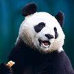 Девочка упала в вольер с пандами (Видео)
