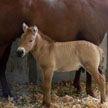 В США клонировали лошадь Пржевальского