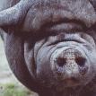 В Польше 12 свиней съели своего хозяина