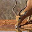 Антилопа перехитрила 16 гиеновидных собак, стадо бегемотов и крокодилов и попала на видео