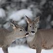 Холод, но не голод: диким животным в Витебской области помогают пережить морозы