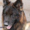 Знакомьтесь, служебный пёс «Мэрс»: именно он указал милиции, где были спрятаны наркотики у доставщика еды в Минске