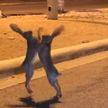 Драка двух зайцев посреди улицы прославила их в Сети (ВИДЕО)