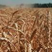 Гибридная рожь – альтернатива зерновым. Чем она хороша?